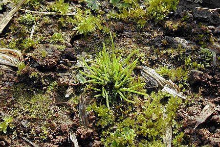 Tardígrado deshidratado. Foto de Photo Science Library Tardigrade  dehydrated.