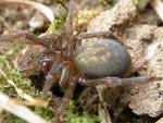 Volume 2, Chapter 7-2: Arthropods: Arachinda - Spider Biology