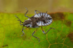 Volume 2, Chapter 11-7: Aquatic Insects: Hemimetabola - Hemiptera