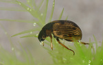 Volume 2, Chapter 11-9: Aquatic Insects: Holometabola - Coleoptera, Suborder Adephaga