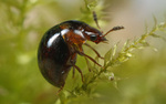 Volume 2, Chapter 12-9a: Terrestrial Insects: Holometabola - Coleoptera Biology and Ecology