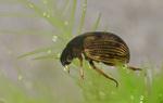 Volume 2, Chapter 11-9: Aquatic Insects: Holometabola - Coleoptera, Suborder Adephaga