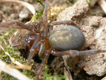 Chapter 7 - Arthropods: Spiders by Janice M. Glime and Jørgen Lissner